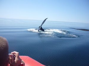Photo whale watching - Bay of Fundy.